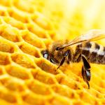 O efeito do nim para as abelhas africanizadas