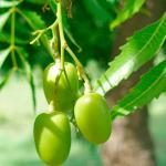 Conheça os benefícios da árvore neem