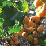 Óleo de neem: Controle de pragas do cafeeiro