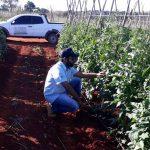Neem: Eficiência no controle da traça do tomateiro